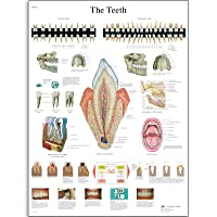 3B Scientific VR1263UU Glossy Paper The Teeth Anatomical Chart, Poster Size 20