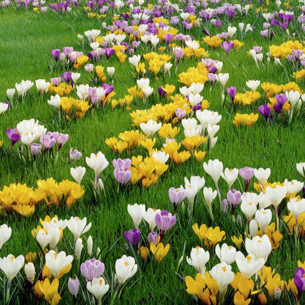 Van Zyverden Crocus Large Flowering Blend Set of 100 Bulbs by VAN ZYVERDEN