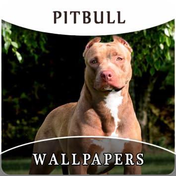 Pitbull sfondi wallpaper