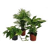 Pflanzenservice 891153 Tropic-Trio, Efeutute Zimmerpalme mit Dieffenbachia