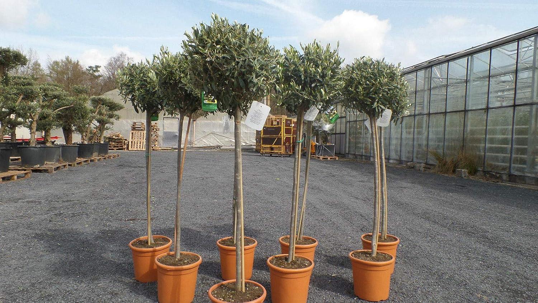 beste Qualit/ät Olivenbaum Olive 140-150 cm Hochstamm