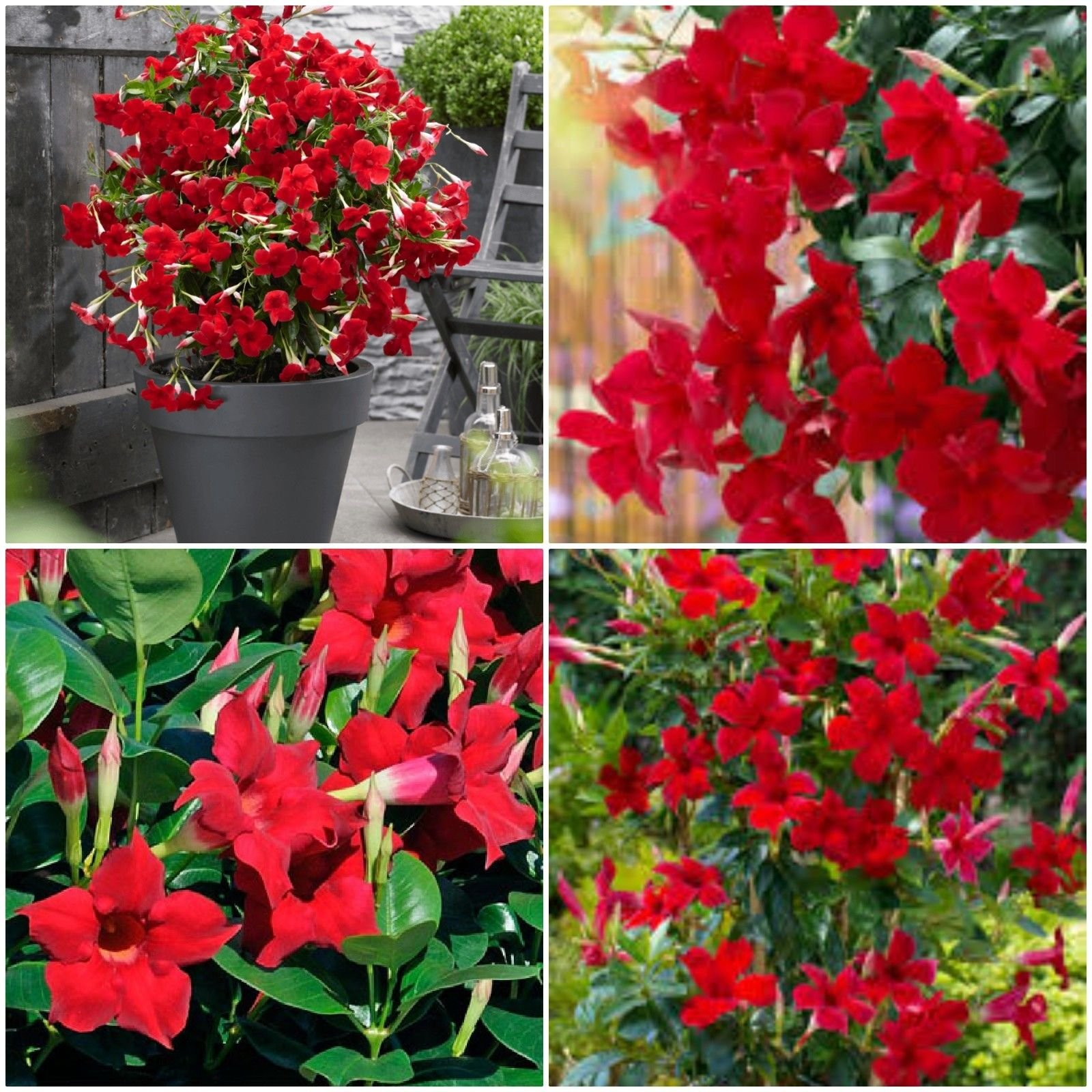 1 Mandevilla ~ Dipladenia Red ~ Vine Live Plant 12'' Tall by liveplantflower