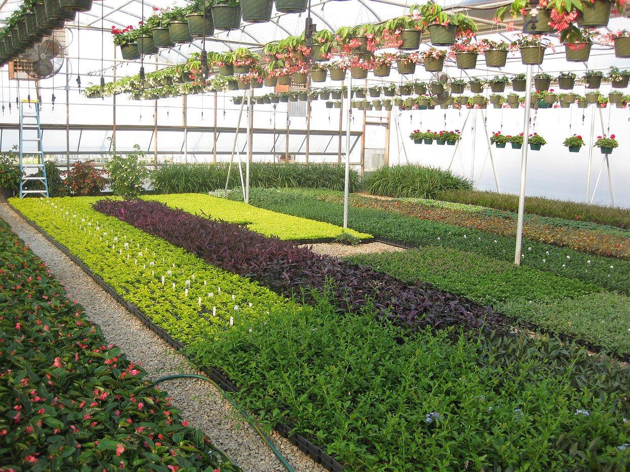 Ligustrum Waxleaf Privet Qty 15 Live Plants Evergreen Privacy Hedge