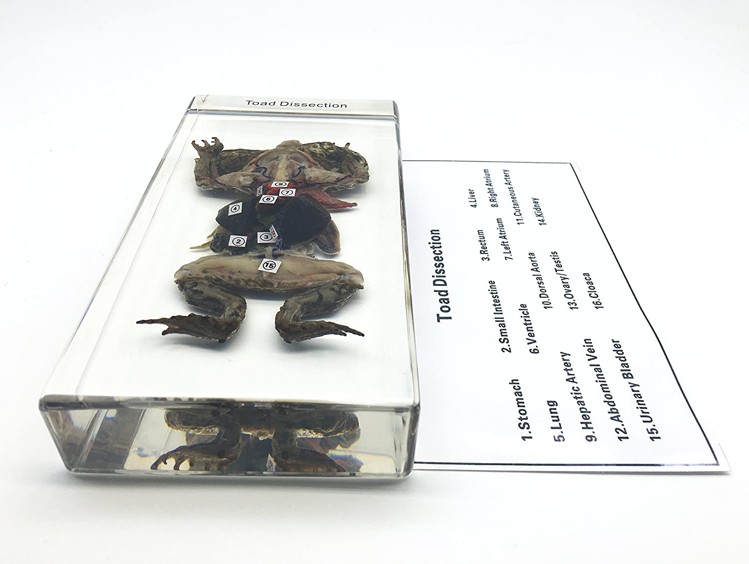 Jumbo Owl Pellets Pack of 5 with Bone Sorting Sheet Free USPS Shipping