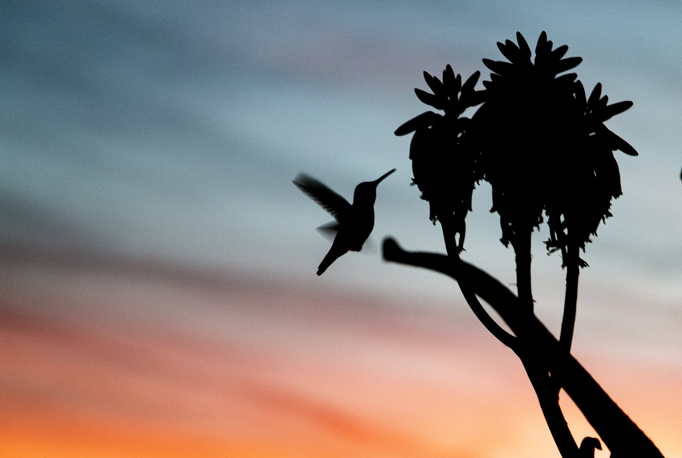 Hummingbird And Sunset