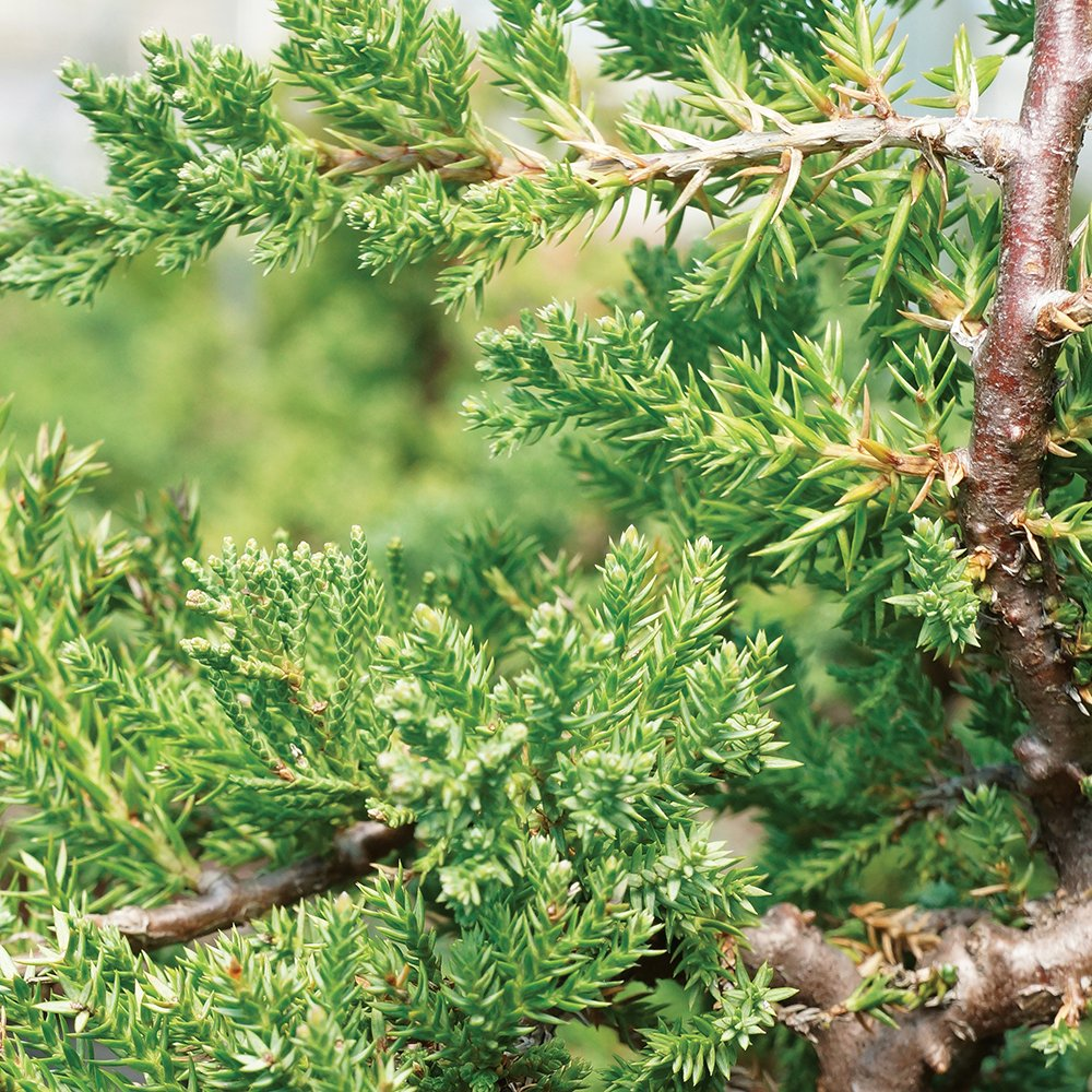 Brussel's Live Green Mound Juniper Outdoor Bonsai Tree - 5 Years Old; 6'' to 10'' Tall with Decorative by Brussel's Bonsai (Image #3)