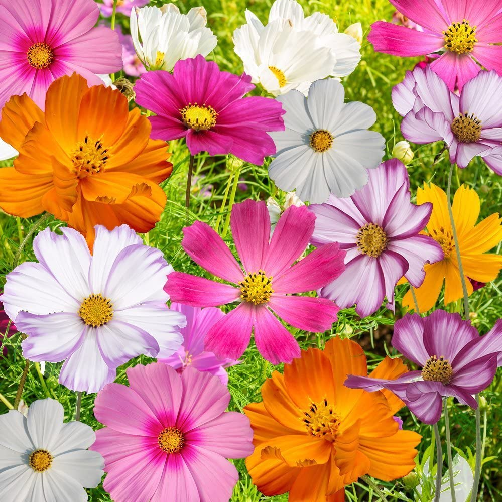 Bulk Package of 7,000 Seeds, Crazy Mix Cosmos (Cosmos bipinnatus) Non-GMO Seeds by Seed Needs