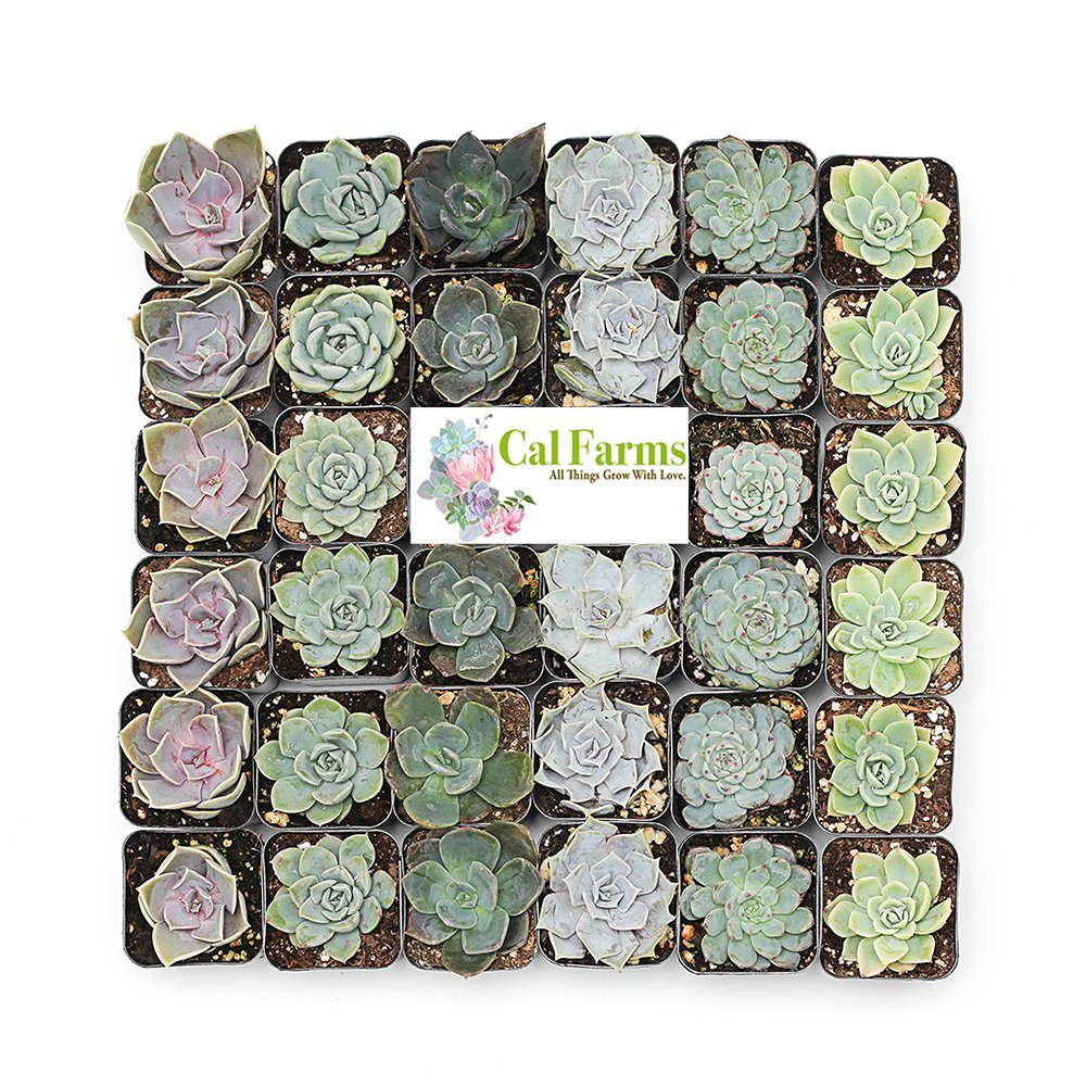 CAL Farms 2'' Rosettes Succulents - for Weddings, Private Parties, Gifts, Party Favors, Gardening and Special Events (Pack of 36) by CAL Farms