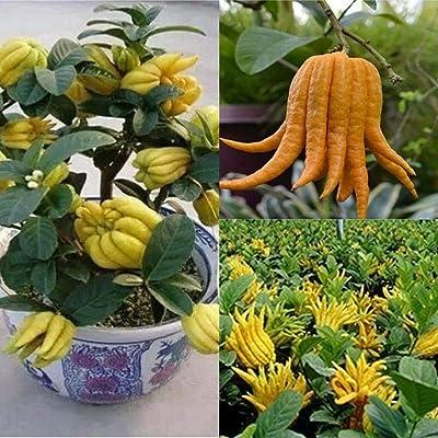 PLAT FIRM Germination Seeds:20 Seeds : USA Heirloom Organic Bergamot Fingered Citron (Buddha's Hand) 10-80 Seeds: Home & Kitchen