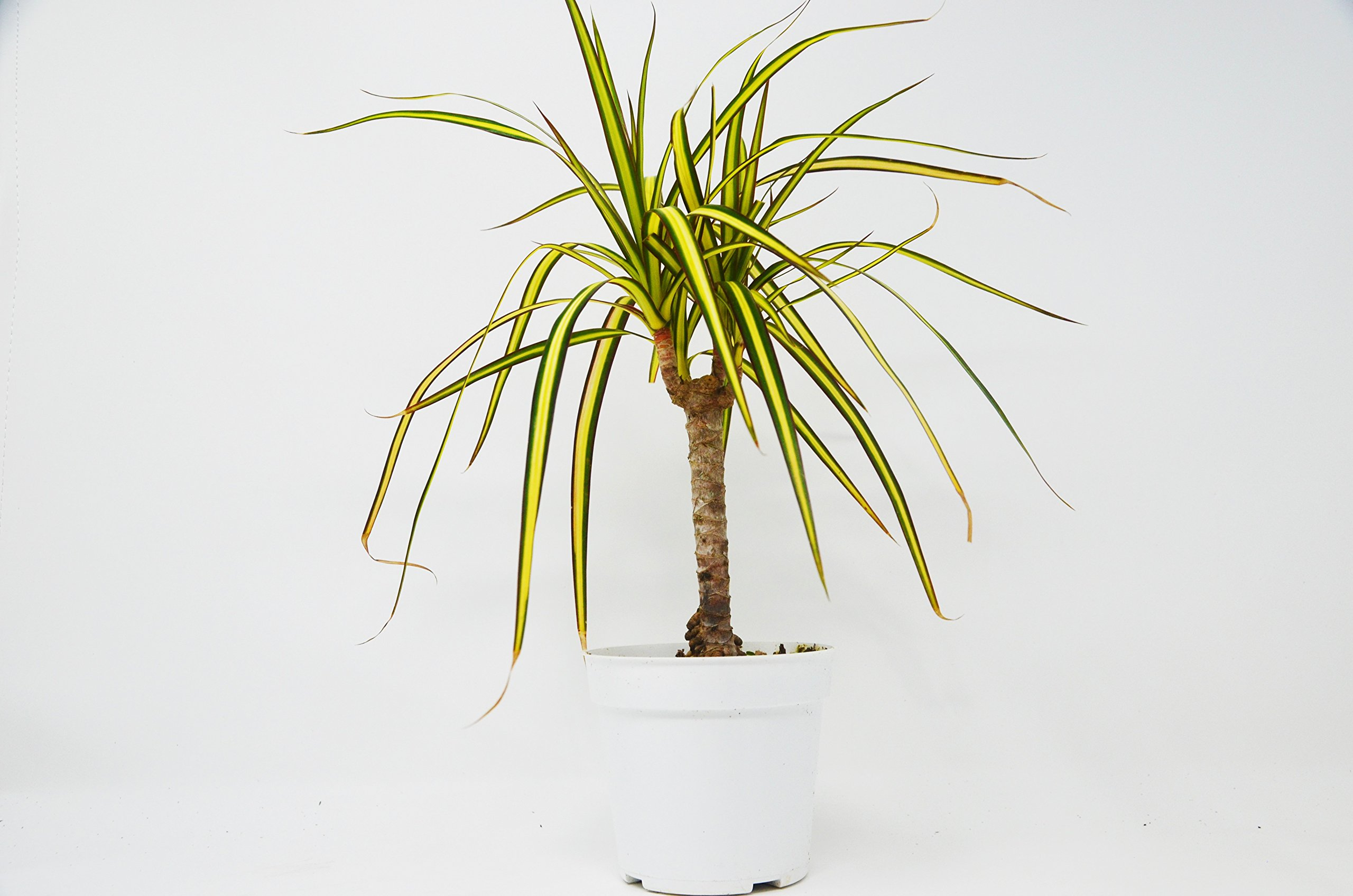 Dracaena 'Marginata Sunray Cane' - Live Plant - FREE Care Guide - 4'' Pot - HARD TO KILL by House Plant Shop