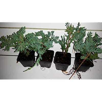 5 Plants of Blue Pacific Juniper Liners, Excellent Ground Cover, Prevents Soil Erosion on Slopes, Liner, : Garden & Outdoor