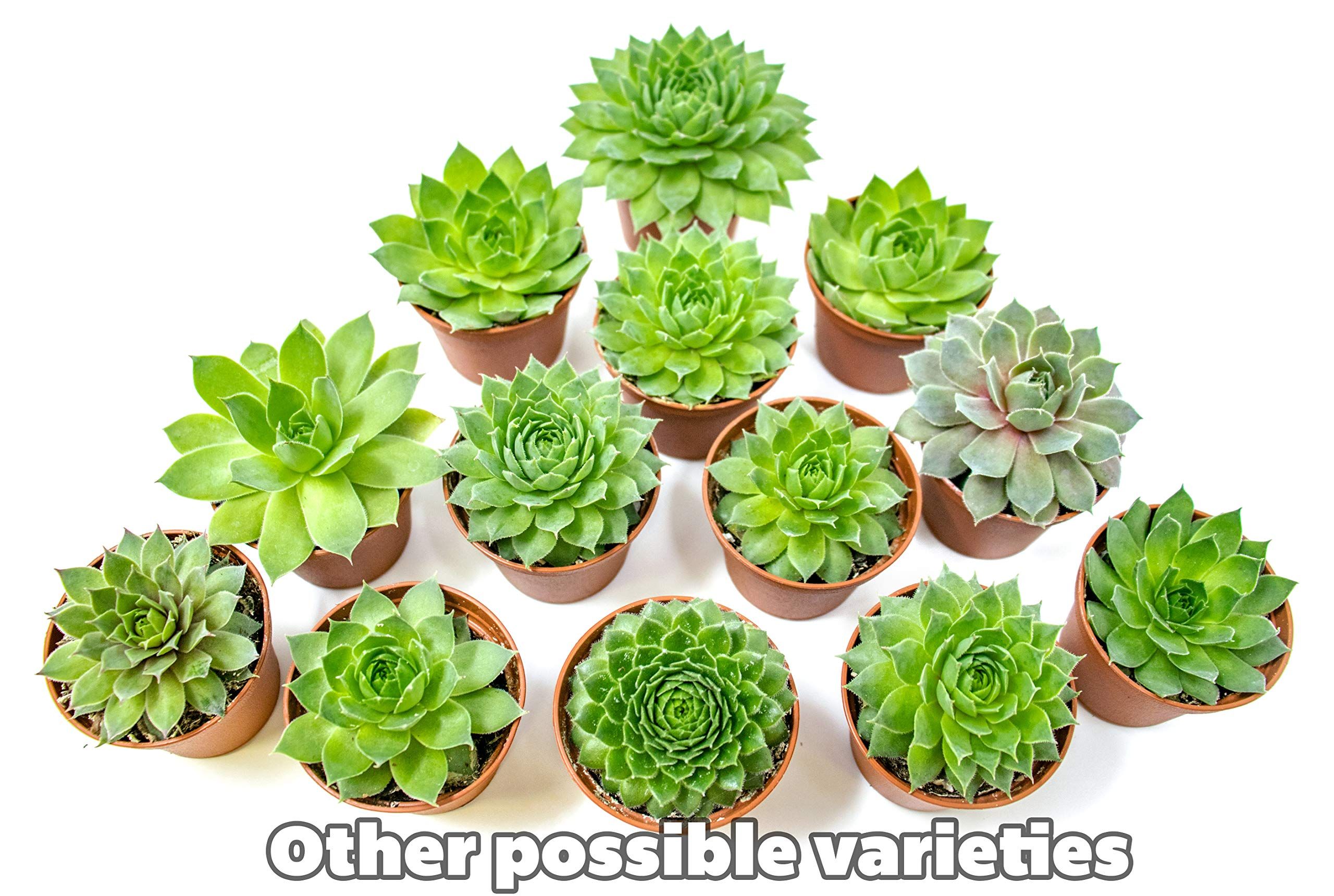 Fractal Succulents(5 Pack) Live Sempervivum Houseleek SucculentRooted in Pots | Flowering Plant Leaves /Geometric Rosettes by Plants for Pets by Plants for Pets (Image #7)
