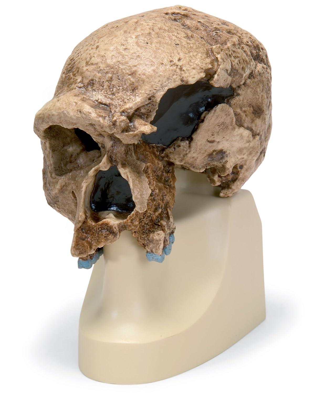 非売品 シュタンハイム人 の の 頭骨 モデル B00NXP9UJQ モデル B00NXP9UJQ, 愛媛うまいもの販売:9360784e --- a0267596.xsph.ru