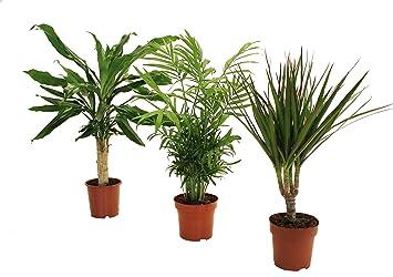 dominik blumen und pflanzen palmen set dracena fragans zimmerpalme marginata