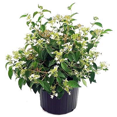 Viburnum p. t. 'Summer Snowflake' (Doublefile Viburnum) Shrub, white flowers, #2 - Size Container: Garden & Outdoor