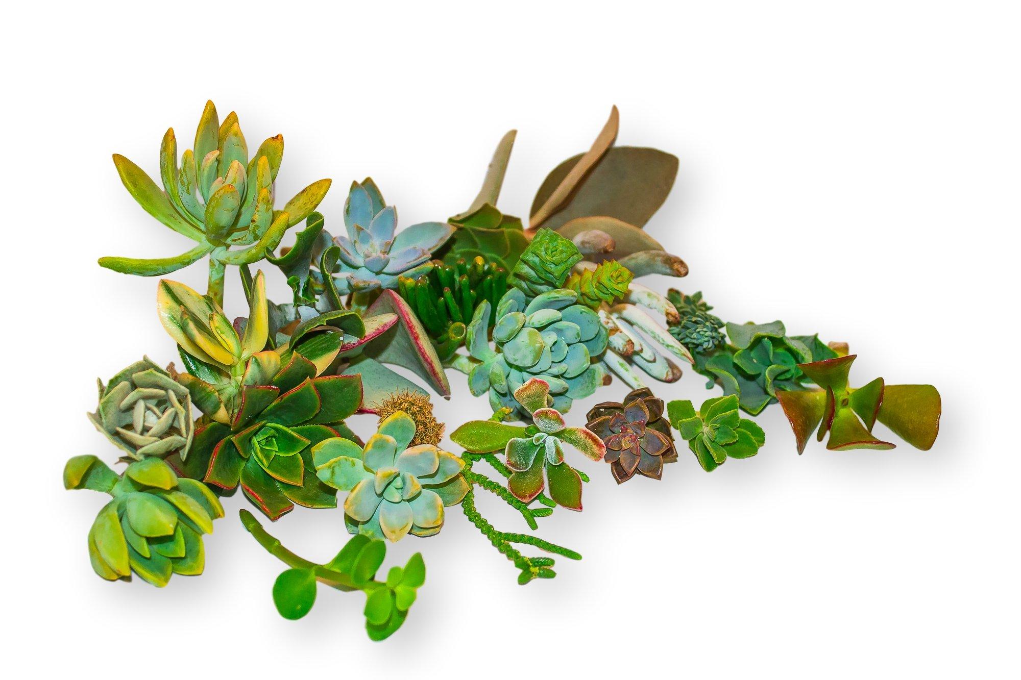 Fat Plants San Diego Twenty Gorgeous Succulent Cuttings From San Diego