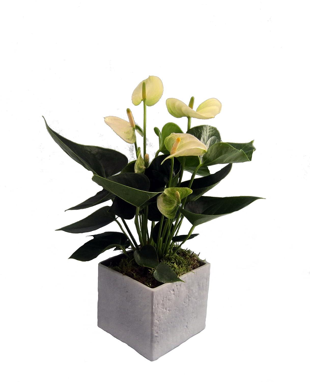 Flamingo-Blume, Anthurie, weiß blühend, 1 Pflanze + Scheurich Übertopf grau stone, ca. 14x14x14 cm