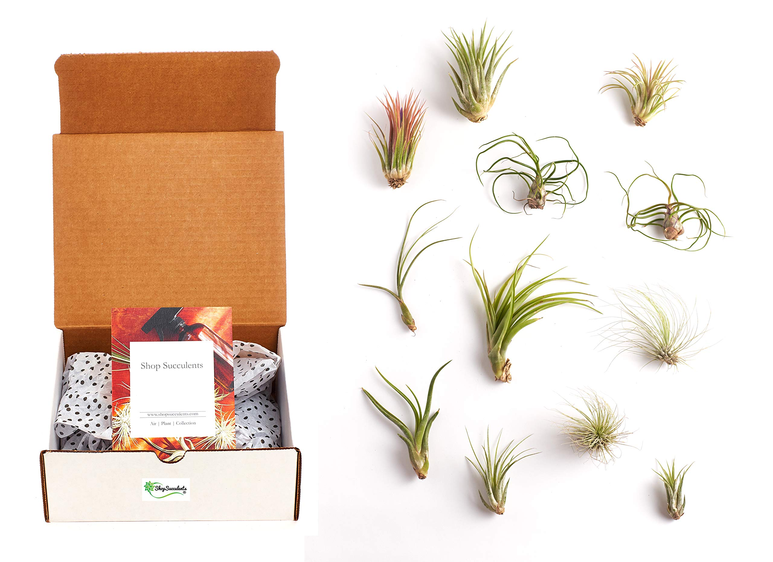 Shop Succulents | Assorted Collection of Live Air Plants, Hand Selected Variety Pack of Air Succulents | Collection of 12