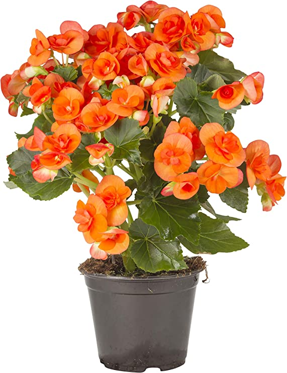 Piante Da Appartamento Begonia.Pianta Vera Fiorita Da Interno Begonia Arancione Tropicale A Lunga