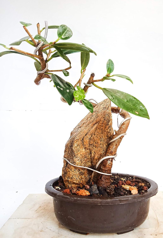 Green Paradise 2 Year Old Live Bonsai Tree Ficus Long