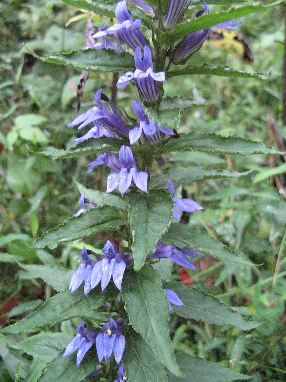 Amazon Lobelia Great Blue 32 000 Seeds Giant Bulk Butterfly