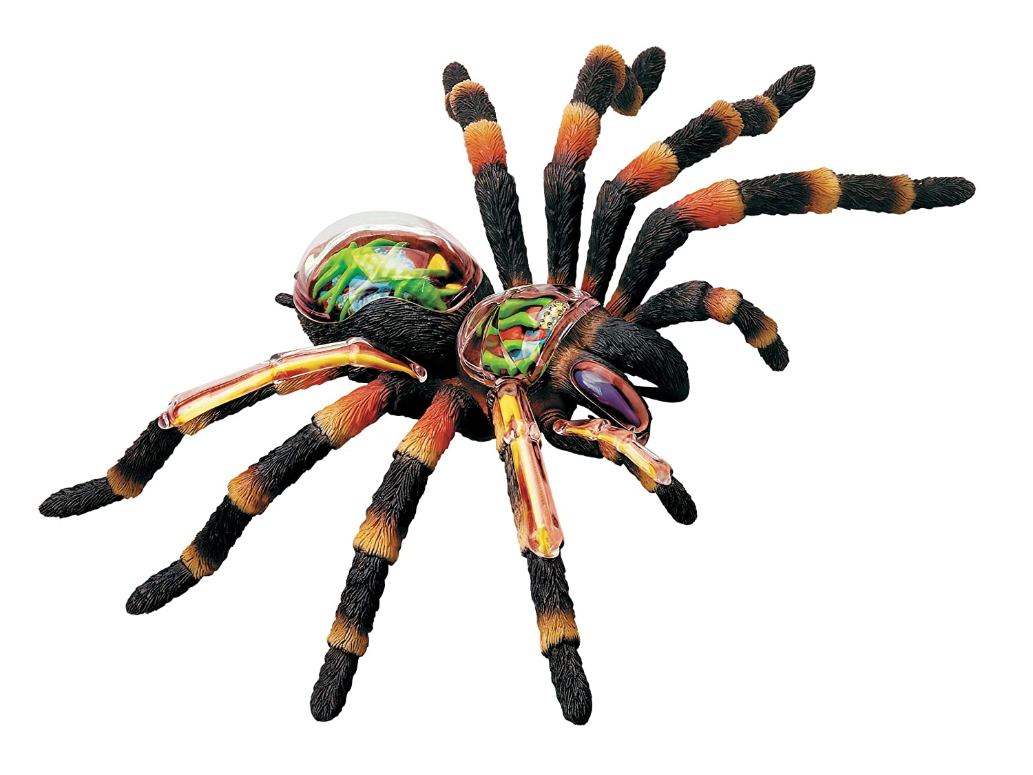 Revell X Ray Tarantula Spider Anatomy Models Amazon Toys Games
