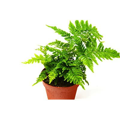 "'Autumn' Fern - Live Plant - FREE Care Guide - 4"" Pot - Low Light House Plant: Garden & Outdoor"