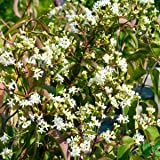 sieben s hne des himmels strauch heptacodium miconioides 2 liter 1 pflanze garten. Black Bedroom Furniture Sets. Home Design Ideas