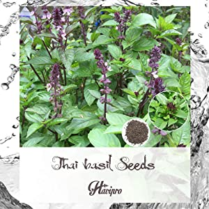 Basil Seeds - Thai Basil Seeds for Planting Outdoor Indoor Home Garden - Basil Thai Herb Seeds - Non GMO - High Hermination - Licorice Basil Heirloom - by HAVIPRO (500)