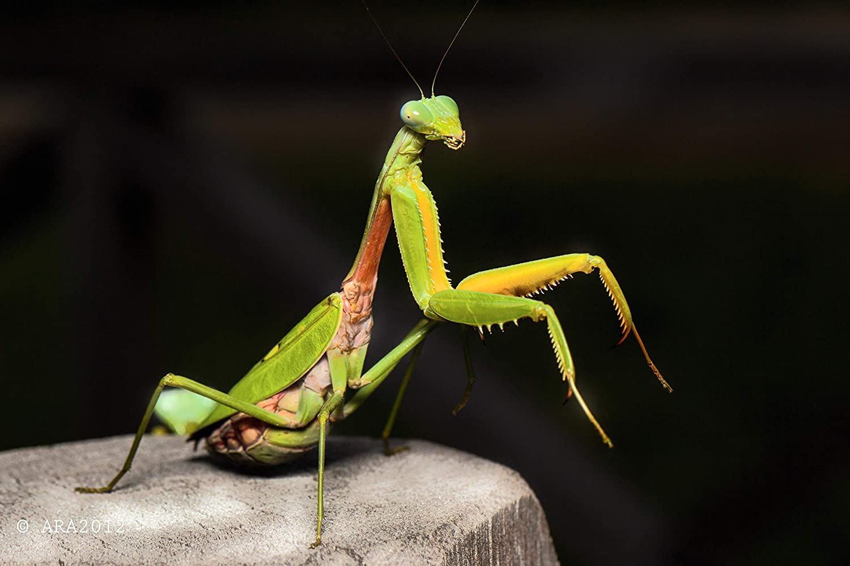 Amazon Com Live Praying Mantis 2 Egg Cases Educational Science