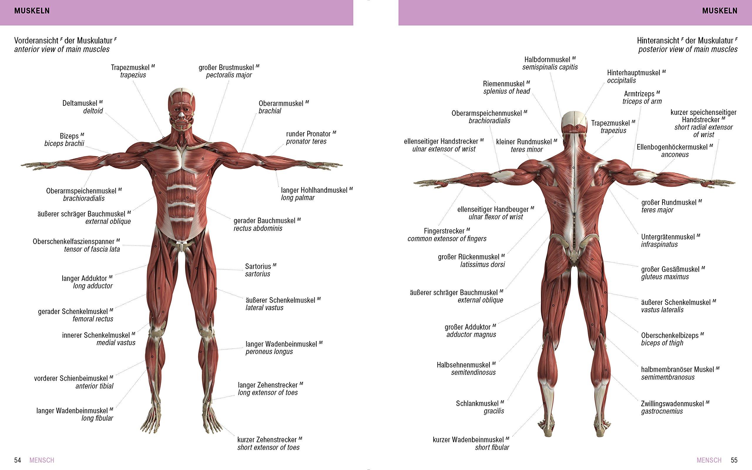Ziemlich Diagramm Bauchmuskeln Ideen - Menschliche Anatomie Bilder ...