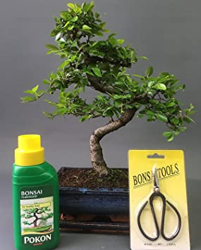 Indoor Bonsai Tree Gift Set - Medium Sized Chinese Elm - 18cm Pot ...
