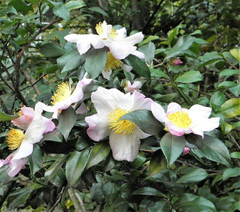 5 Tea Plant Black & Green Drinking Tea Camellia Sinensis Tree Shrub Flower Seeds for Planting Outdoor #SFB