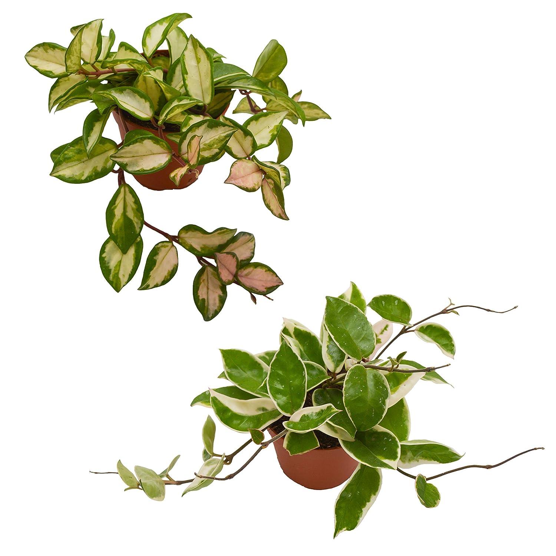 Porzellanblume Pasiora Hoya carnosa Krimison Queen /& Hoya carnosaTricolor Zimmerpflanzen Set h/ängend//rankend Wachsblume