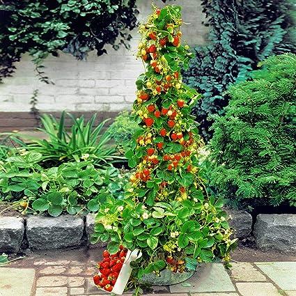 auf Balkon /& Terrasse wintehart Yukio Samenhaus voll durchwurzelt Erdbeeren im Garten Kletter-Erdbeere Hummi lecker immertragend