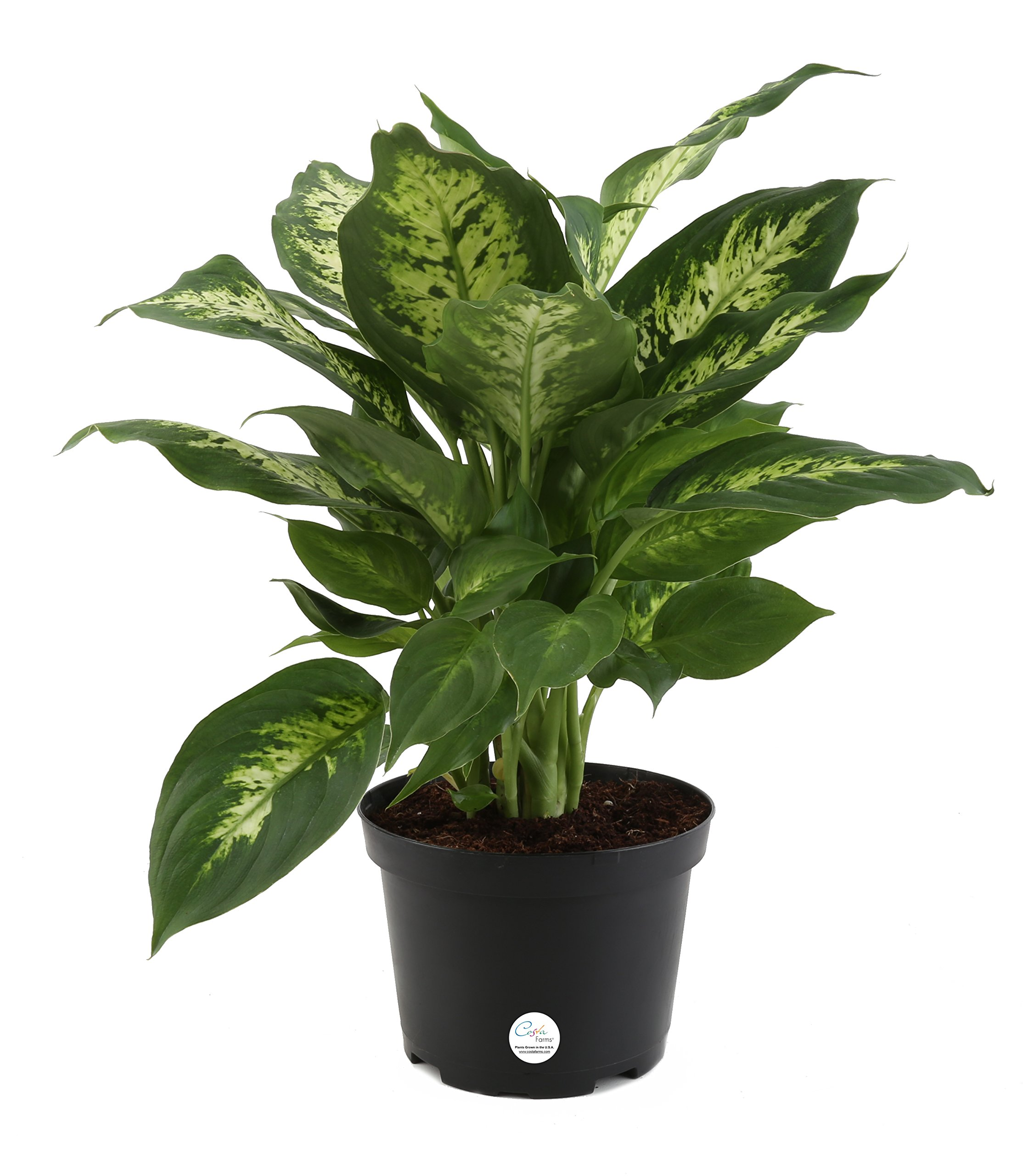 Costa Farms, Premium Live Indoor Exotica Dumb Cane, Dieffenbachia, Tabletop Plant, Grower Pot, Shipped Fresh From Our Farm, Excellent Gift