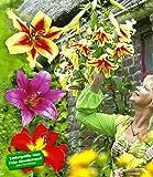 BALDUR-Garten Tree-Lilies®-Kollektion, Baumlilien Mischung, 6 Stück Lilium