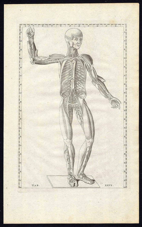 3 ThePrintsCollector son-anatomía-arteria-Man-vena-músculo-PL XXVI ...