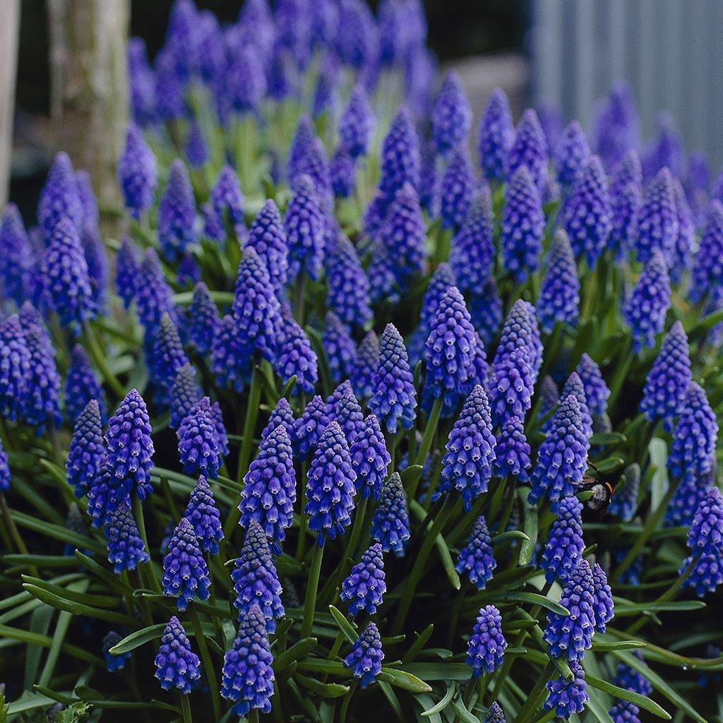 Van Zyverden Grape Hyacinths Set of 100 Bulbs by VAN ZYVERDEN