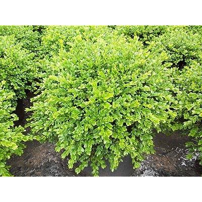 "AchmadAnam - 4"" Pot - Chicagoland Green Boxwood - Buxus : Garden & Outdoor"