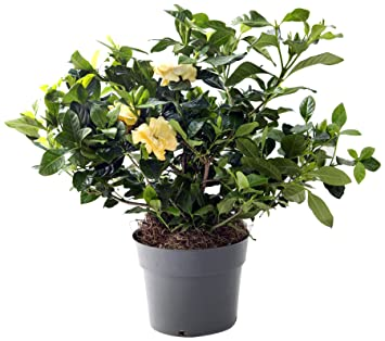 KaBloom Gardenia Bonsai Tree In A 8 Inch Grow Pot   Indoor U0026 Outdoor Plant