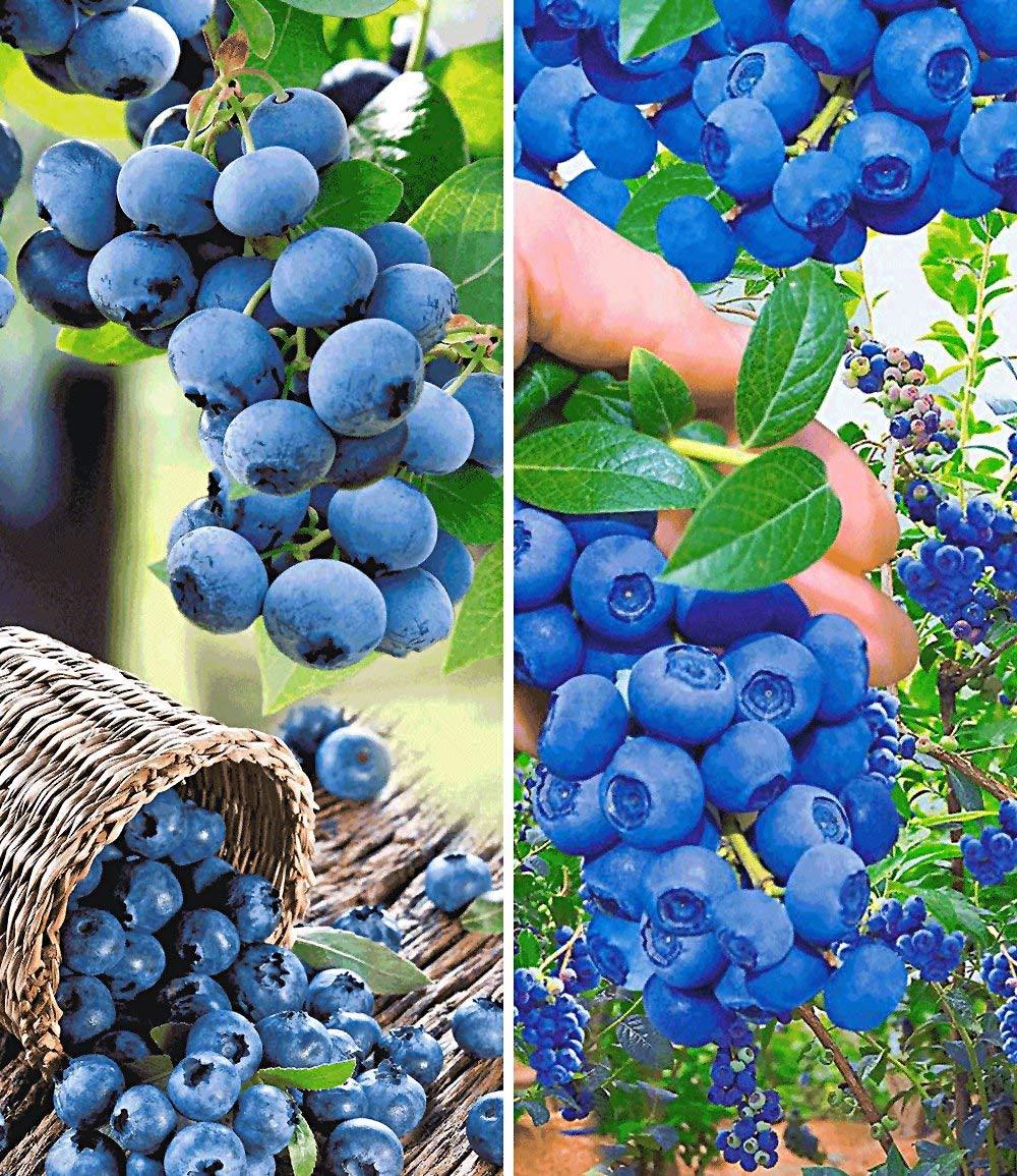 30pcs Selten Heidelbeere Hortblue/® Obstsamen Obstbaum mehrj/ährig winterhart feinaromatisch saftig f/ür Balkon Terrasse /& Garten Qulista Samenhaus