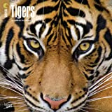 Tigers 2018 12 x 12 Inch Monthly Square Wall Calendar, Wildlife Zoo Animals (Multilingual Edition)