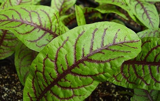 Salad Leaf Seed Sorrel /'Red Veined/' Pack King/'s Seeds