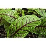 Sorrel Seeds- Blood-Veined- Heirloom Greens- 200+ Seeds