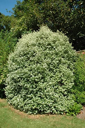 Pittosporum tenuifolium Silver Queen in a 2L Pot