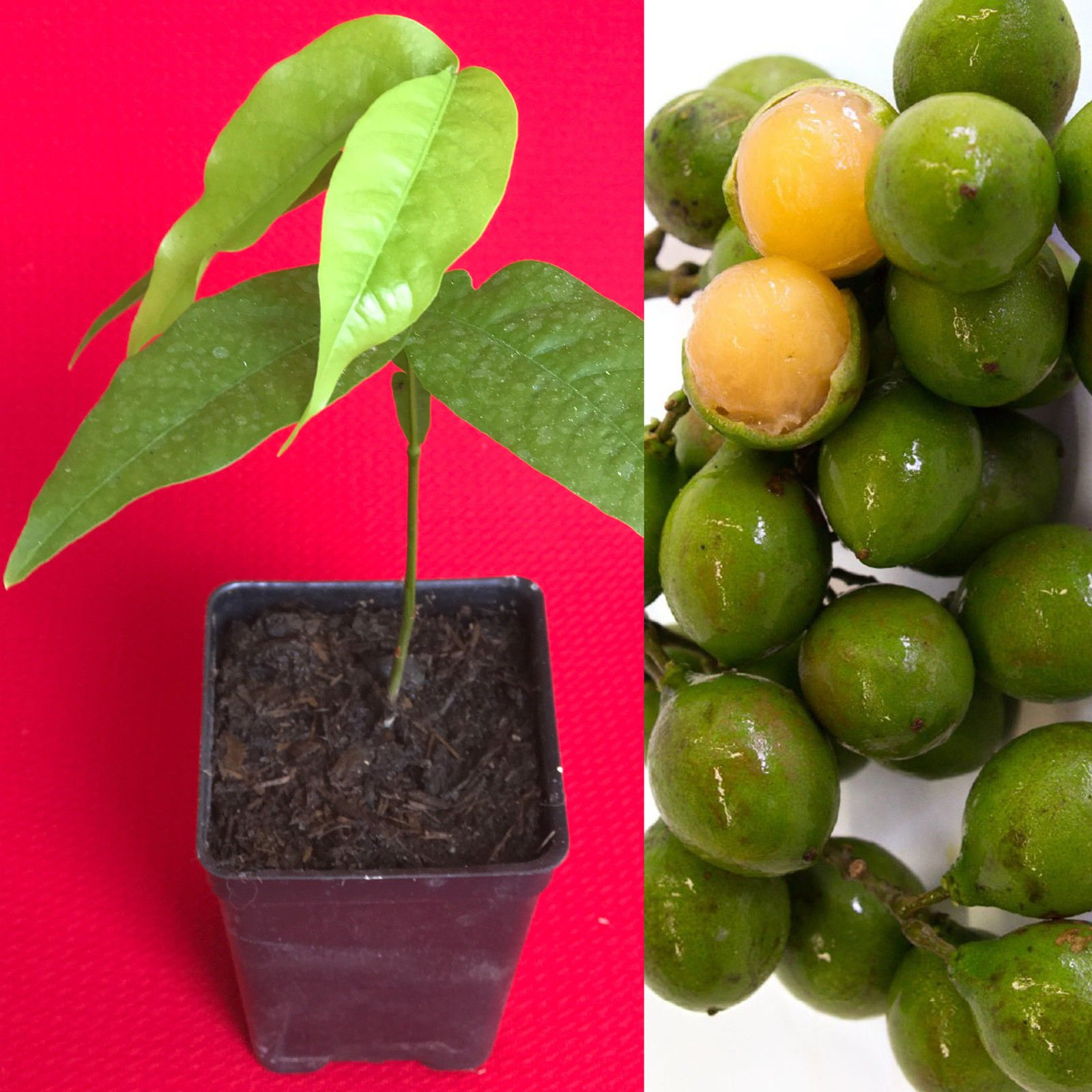 Spanish Lime Genip Guinep Ginepa Limoncillo Mamoncillo Fruit Seedling Starter Pl by genuineprotection