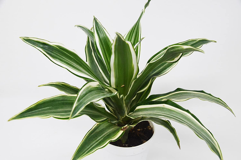 "Picture of Live Dracaena Warneckii aka Dracaena deremensis Warneckii Foliage Plant Fit 4"" Pot"