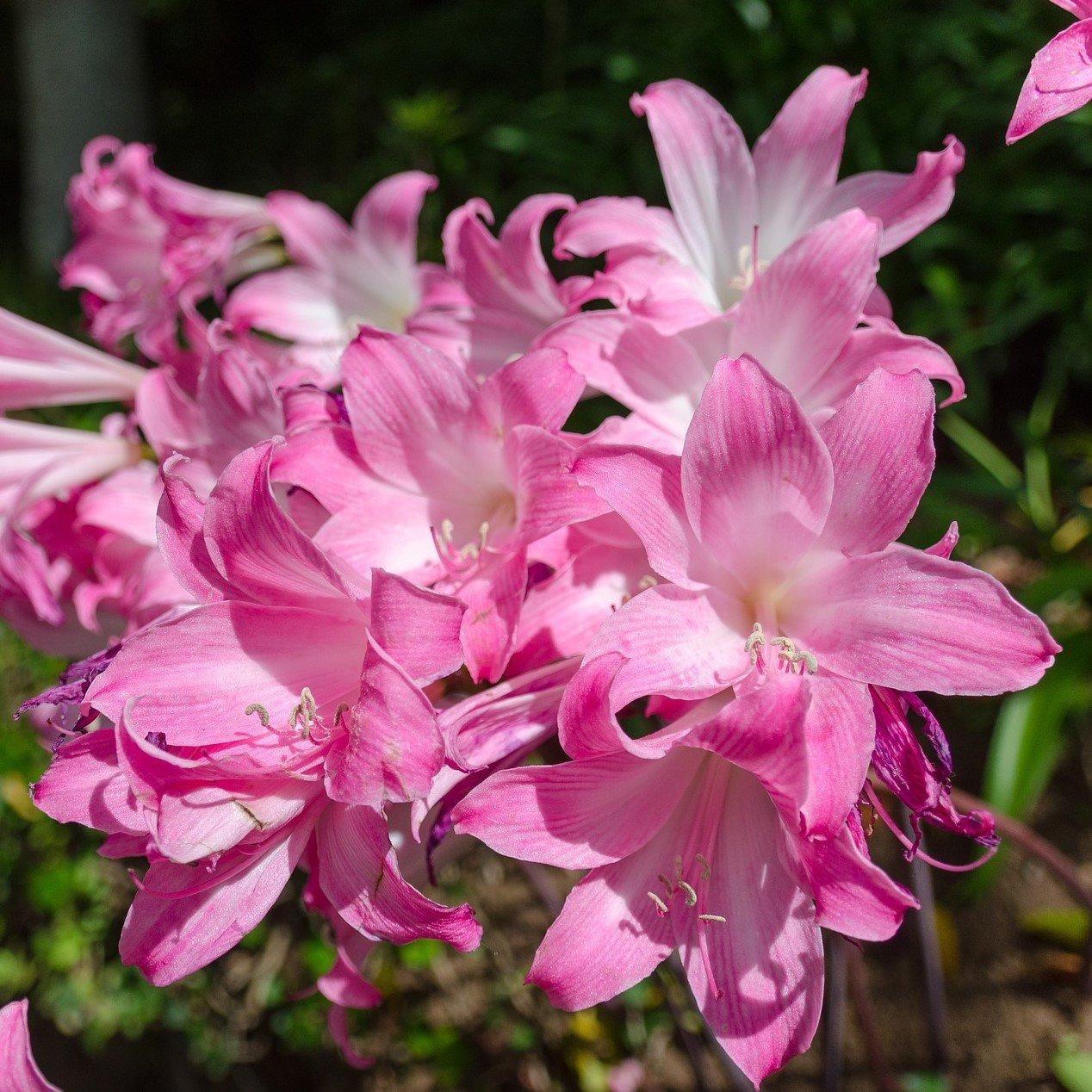 Amazon pink belladonna lily fragrant naked lady lilies 3 amazon pink belladonna lily fragrant naked lady lilies 3 big bulbs 2 12 cm easy to grow tm garden outdoor izmirmasajfo