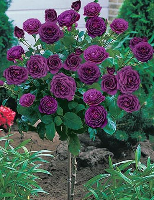 Ncient 50 Piezas Rosa Arbol Semilla, 8 Tipos Arbol Rose Semillas ...